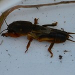 150410 Mole Cricket Fran Torode