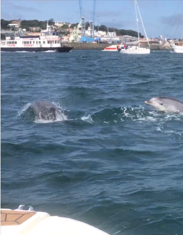 Bottlenose Dolphins seen playing in the harbour on 12th August - picture by Daniela Van Gelder